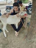 Dziecka zwierzę krowa fotografia royalty free