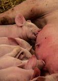 Dziecko świnia. obrazy royalty free