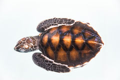 dziecko żółw Fotografia Royalty Free