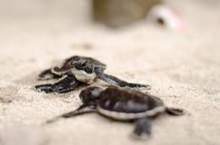 Dziecko żółwie Obraz Royalty Free