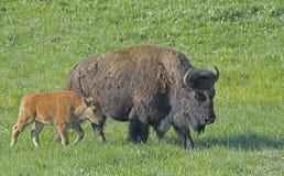 Dziecko żubr podąża mamy w Yellowstone zdjęcia stock