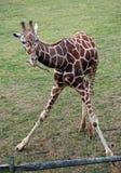 Dziecko żyrafy chrupanie na gałązce Fotografia Stock