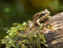 Dziecko żaba Zdjęcie Stock