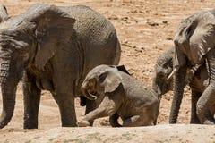 Dziecko Afrykański słoń 25 Zdjęcie Stock