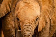 Dziecko Afrykańskiego słonia folująca rama Obrazy Stock