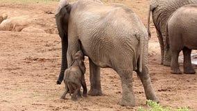 Dziecko Afrykańskiego słonia karmienia walka zdjęcie wideo