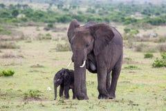 Dziecko Afrykańskiego słonia odprowadzenie z swój matką Zdjęcia Stock