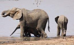 Dziecko Afrykańskiego słonia puszek pod dokąd tam jest cień Fotografia Royalty Free