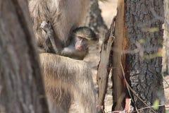 Dziecko afrykanina małpa Obrazy Royalty Free