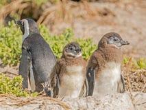 Dziecko afrykanina pingwiny Obrazy Stock