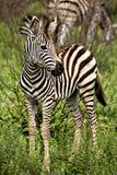 Dziecko afrykanina zebra Zdjęcia Stock