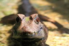 Dziecko aligator Obraz Royalty Free