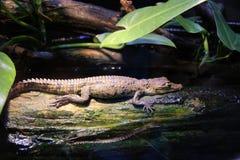 Dziecko aligator Zdjęcie Stock