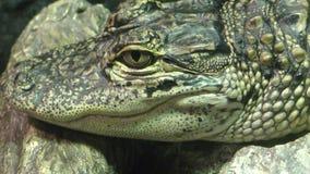 Dziecko aligator zbiory