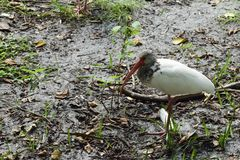 Dziecko Amerykański biały ibis Zdjęcia Royalty Free