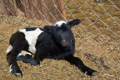 Dziecko baranek na gospodarstwie rolnym fotografia stock