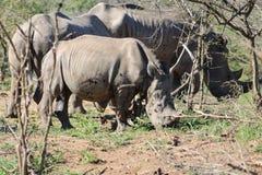 Dziecko Biała rodzina i nosorożec Zdjęcia Royalty Free