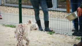 Dziecko biały tygrys dostaje karmiącego wewnątrz zoo, stabilizującego zbiory wideo
