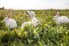 Dziecko biały królik w wiosny zielonej trawy tle Zdjęcie Stock