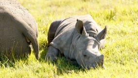 Dziecko bielu nosorożec Obraz Royalty Free