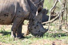 Dziecko bielu nosorożec Zdjęcia Royalty Free