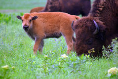 dziecko bizon obraz stock