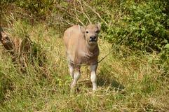 Dziecko bizon Zdjęcie Royalty Free