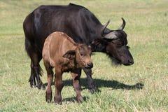 dziecko bizon Zdjęcia Royalty Free