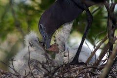 dziecko blue heron mała zdjęcie royalty free