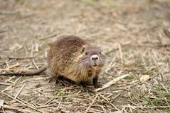 Dziecko bobroszczur Fotografia Royalty Free