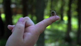 Dziecko chłopiec chwyta maybug w jego ręce Makro- strzał chrząszcz lub chafer Mo zbiory