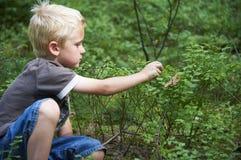 Dziecko chłopiec podnosi dzikie czarne jagody w czarna jagoda lesie Obraz Royalty Free