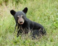 Dziecko czarny niedźwiedź zdjęcie royalty free