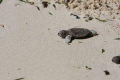 dziecko denni żółwie Zdjęcie Stock