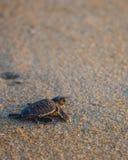 Dziecko denny żółw robi swój sposobowi z powrotem ocean Zdjęcia Royalty Free