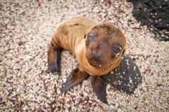Dziecko denny lew gapi się przy w Galapagos wyspach Obraz Royalty Free