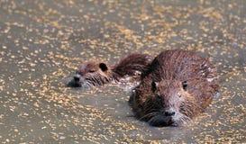 dziecko dorosły bobroszczur swój nutrie Zdjęcie Royalty Free