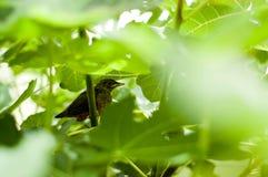 Dziecko drozda ptak Fotografia Royalty Free