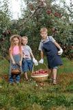 Dziecko dziewczyny chłopiec brata siostry jabłka pomocy fartucha ogrodowe duże koszykowe rękawiczki wpólnie pracują gromadzenie s obraz stock