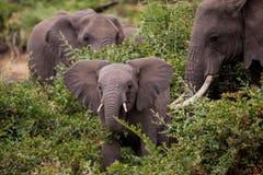 Dziecko elefant z jego matka Obraz Stock