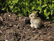 Dziecko Europejski królik - Oryctolagus cuniculus Zdjęcie Royalty Free
