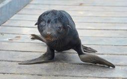 Dziecko foka Zdjęcie Royalty Free