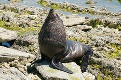 Dziecko foka bawić się na morze skale Obrazy Royalty Free