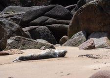 Dziecko foka Dostaje Niektóre słońce Obraz Stock