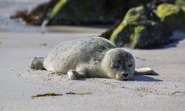 Dziecko foka na niemieckiej wyspie Helgoland Obraz Royalty Free