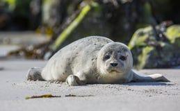Dziecko foka na niemieckiej wyspie Helgoland Fotografia Stock