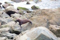 Dziecko foka na skałach Kaikoura w Nowa Zelandia Zdjęcie Stock