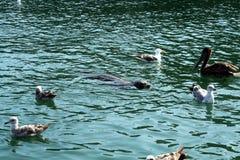 Dziecko foka otaczająca pelikanami Zdjęcia Royalty Free