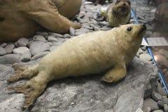 dziecko foka przy historii naturalnej muzeum Obrazy Stock