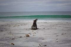 Dziecko foka zbliża się morze Obraz Stock